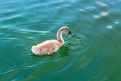 Cisne nova no lago Powidz poland Fotos de Stock