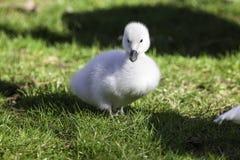Cisne novo branco bonito Cygnus preto-necked da cisne do bebê melancory Imagem de Stock Royalty Free