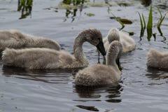 Cisne novo com a planta verde na boca imagem de stock royalty free