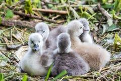 Cisne novo do bebê da cisne que afaga junto Fotografia de Stock