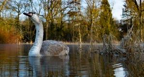 Cisne novo em alakewashing Fotografia de Stock