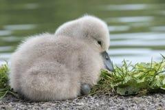 Cisne novo no círculo fotos de stock