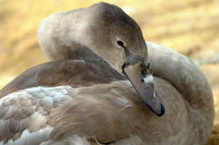 Cisne novo no Swannery de Abbotsbury Foto de Stock