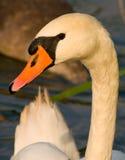 Cisne - olor del Cygnus Fotografía de archivo libre de regalías