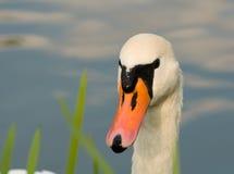 Cisne - olor del Cygnus Fotografía de archivo