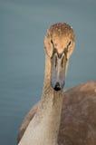 Cisne - olor del Cygnus Foto de archivo