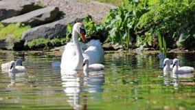Cisne original com bebês em um lago, foto alta da definição deste aviário maravilhoso em Ámérica do Sul foto de stock
