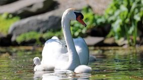 Cisne original com bebês em um lago, foto alta da definição deste aviário maravilhoso em Ámérica do Sul fotografia de stock