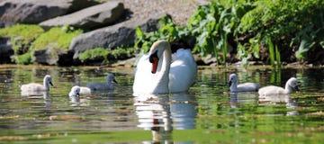 Cisne original com bebês em um lago, foto alta da definição deste aviário maravilhoso em Ámérica do Sul fotos de stock royalty free