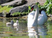 Cisne original com bebês em um lago, foto alta da definição deste aviário maravilhoso em Ámérica do Sul imagem de stock royalty free