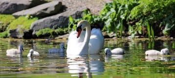 Cisne original com bebês em um lago, foto alta da definição deste aviário maravilhoso em Ámérica do Sul foto de stock royalty free