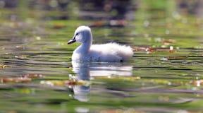 Cisne original em um lago, foto alta do bebê do cisne novo da definição deste aviário maravilhoso em Ámérica do Sul imagem de stock