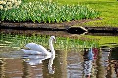 Cisne, pássaro, Amsterdão, branco, mola, verão, jardim, curso, Amsterdão foto de stock