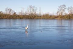 Cisne patinador en reyes Village del lago Imagen de archivo libre de regalías