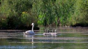 Cisne, pena, Cygnini, remando com seus seis cisnes novos em um loch calmo no amanhecer, scotland filme