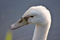 Cisne pequena Fotografia de Stock Royalty Free