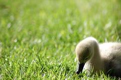 Cisne pequena Imagens de Stock