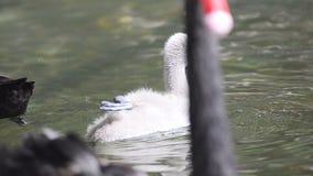Cisne pequena bonito filme