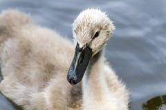 Cisne pequena nos animais selvagens muito Foto de Stock