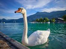 Cisne perto do cais de madeira no lago Wolfgangssee fotografia de stock royalty free