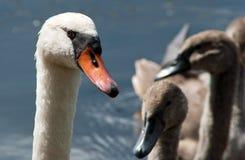 Cisne - polluelo del cisne foto de archivo libre de regalías