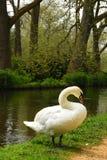 Cisne por la prueba del río, abadía de Mottisfont, Hampshire, Inglaterra Foto de archivo libre de regalías