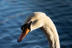 Cisne por la tarde fotos de archivo libres de regalías