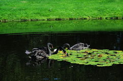 Cisne preta Imagem de Stock Royalty Free