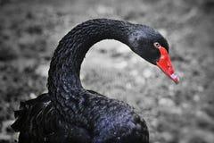 Cisne preta fotos de stock