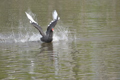 A cisne preta Fotos de Stock