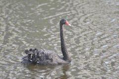 A cisne preta Foto de Stock Royalty Free