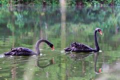 A cisne preta Fotografia de Stock Royalty Free