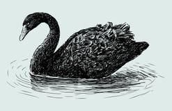 Cisne preta Imagem de Stock