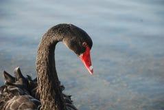 Cisne preta imagens de stock