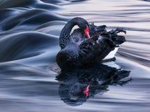 A cisne preta Foto de Stock