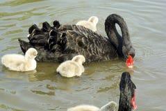 Cisne preta Fotografia de Stock
