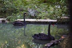 A cisne preta Imagens de Stock