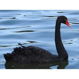 Cisne preta fotos de stock royalty free