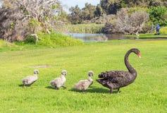 Cisne preta com cygnets fotos de stock royalty free