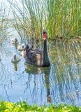Cisne preta com cygnets imagens de stock royalty free