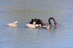 Cisne preta com o bico do Rd na lagoa fotografia de stock