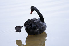 Cisne preta com seu pé para fora Fotografia de Stock Royalty Free