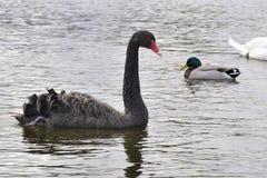 Cisne preta com um pato selvagem Duck Behind fotos de stock