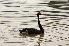 Cisne preta da mãe e do bebê no lago Fotos de Stock Royalty Free