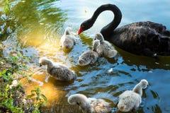 Cisne preta e cachorrinhos Fotografia de Stock Royalty Free