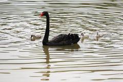 Cisne preta e mãe do bebê Fotografia de Stock