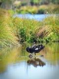 Cisne preta em uma lagoa em Travis Wetland Nature Heritage Park em Nova Zelândia fotos de stock