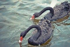 A cisne preta est? comendo imagens de stock royalty free