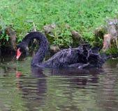 Cisne preta masculina Fotos de Stock Royalty Free