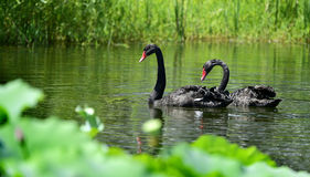 A cisne preta na lagoa Imagem de Stock Royalty Free